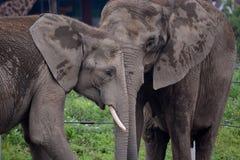 Elefantes africanos foto de stock
