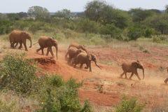 Elefantes africanos adoptados del bebé en David Sheldrick Wildlife Trust en el parque nacional de Tsavo, Kenia Imagenes de archivo