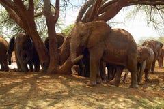 Elefantes africanos adoptados del bebé en David Sheldrick Wildlife Trust en el parque nacional de Tsavo, Kenia Fotos de archivo