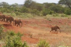 Elefantes africanos adoptados del bebé en David Sheldrick Wildlife Trust en el parque nacional de Tsavo, Kenia Imágenes de archivo libres de regalías