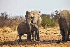 Elefantes africanos, africana de Loxodon, água potável no waterhole Etosha, Namíbia Fotos de Stock Royalty Free