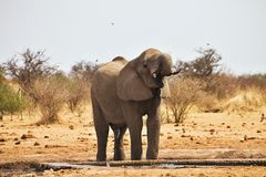 Elefantes africanos, africana de Loxodon, água potável no waterhole Etosha, Namíbia Foto de Stock Royalty Free