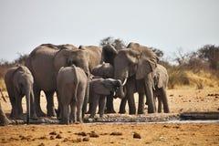 Elefantes africanos, africana de Loxodon, agua potable en el waterhole Etosha, Namibia Foto de archivo libre de regalías