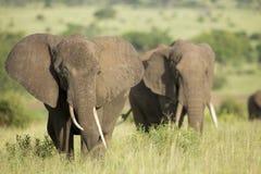 Elefantes africanos (africana del Loxodonta) en Tanzania Imágenes de archivo libres de regalías