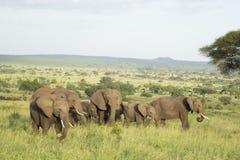 Elefantes africanos (africana del Loxodonta) en Tanzania Fotos de archivo libres de regalías