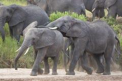 Elefantes africanos (africana del Loxodonta) en Tanzania Foto de archivo libre de regalías