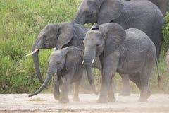 Elefantes africanos (africana del Loxodonta) en Tanzania Fotografía de archivo libre de regalías