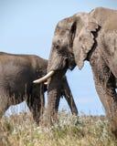 Elefantes africanos após um banho de lama Fotografia de Stock