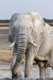 Elefantes africanos blancos en el waterhole de Etosha Imagen de archivo libre de regalías
