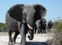 Elefantes africanos - Botswana Imagens de Stock