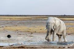 Elefantes africanos brancos no waterhole de Etosha Fotografia de Stock