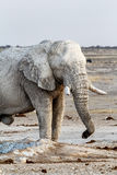 Elefantes africanos brancos no waterhole de Etosha Imagens de Stock Royalty Free