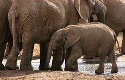 Elefantes africanos con el becerro en el waterhole Foto de archivo libre de regalías