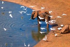 Elefantes africanos con los pájaros blancos en agujero de agua Imágenes de archivo libres de regalías