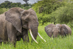 Elefantes africanos da mãe e do bebê que andam no savana no alcatrão Imagem de Stock Royalty Free
