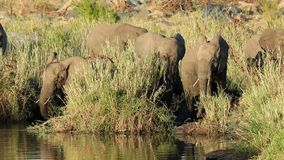 Elefantes africanos de alimentación - Kruger parque nacional metrajes