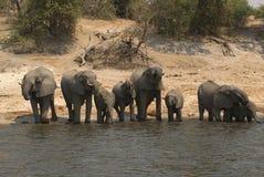 Elefantes africanos de Bush Fotos de archivo
