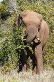 Elefantes africanos de Bush que rompen las ramas abajo para un bocado Foto de archivo