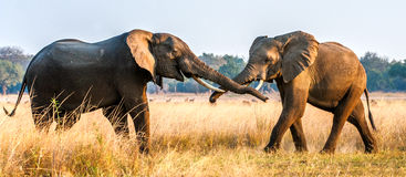 Elefantes africanos de combate no savana no por do sol Foto de Stock Royalty Free