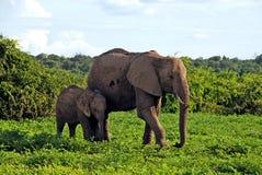 Elefantes africanos de la madre y del bebé, Botswana, África. Foto de archivo