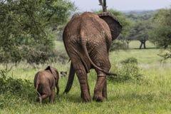 Elefantes africanos de la madre y del bebé que caminan en sabana en el alquitrán Imagen de archivo libre de regalías