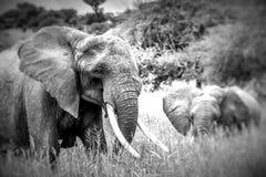 Elefantes africanos de la madre y del bebé que caminan en sabana en el alquitrán Foto de archivo libre de regalías