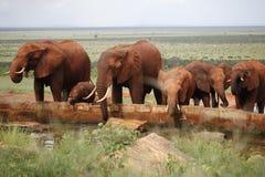 Elefantes africanos de la manada Foto de archivo