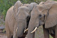 Elefantes africanos del arbusto (africana del Loxodonta) Fotografía de archivo