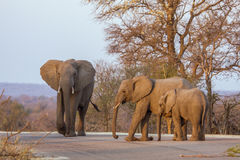 Elefantes africanos del arbusto que caminan en el camino, en el parque de Kruger, Suráfrica Imagen de archivo libre de regalías