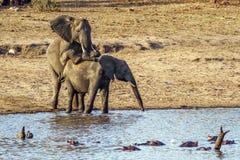 Elefantes africanos del arbusto que se acoplan en el parque nacional de Kruger Imagenes de archivo