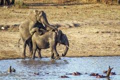 Elefantes africanos del arbusto que se acoplan en el parque nacional de Kruger Fotos de archivo libres de regalías