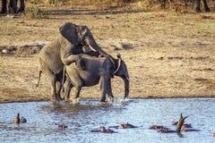 Elefantes africanos del arbusto que se acoplan en el parque nacional de Kruger Fotos de archivo