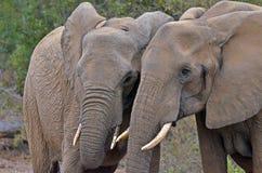 Elefantes africanos do arbusto (africana do Loxodonta) Fotografia de Stock