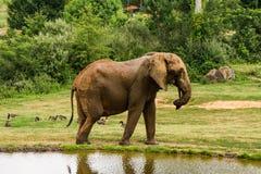 Elefantes africanos do Matriarch por uma lagoa no Carolina Zoological Park norte imagem de stock royalty free