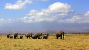 Elefantes africanos e Mt Killanmanjaro fotografia de stock
