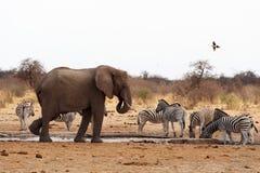 Elefantes africanos em um waterhole Fotos de Stock Royalty Free