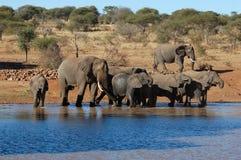 Elefantes africanos en África Imagen de archivo