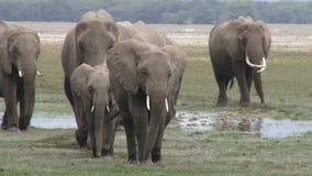 Elefantes africanos en Amboseli almacen de video