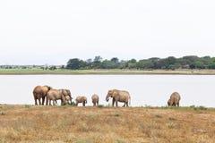 Elefantes africanos en el lago fotografía de archivo