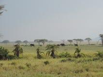Elefantes africanos en el parque nacional de Serengeti, Tanzania fotografía de archivo
