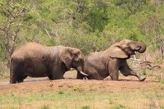 Elefantes africanos en el salvaje Fotografía de archivo