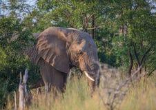 Elefantes africanos en el savvanah en el parque nacional real de Hlane Foto de archivo libre de regalías