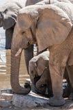 Elefantes africanos en el waterhole Fotografía de archivo