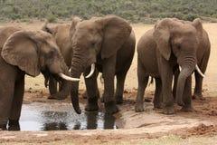 Elefantes africanos en el waterhole en Suráfrica Foto de archivo