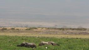 Elefantes africanos en la región pantanosa almacen de video