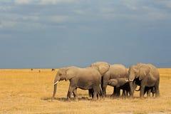 Elefantes africanos en prado Imagen de archivo libre de regalías