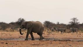 Elefantes africanos en un waterhole fangoso almacen de video
