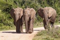 Elefantes africanos grandes que caminan a lo largo de un camino de la grava imagen de archivo