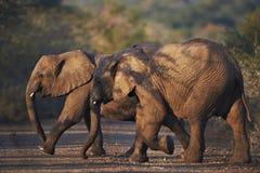 Elefantes africanos jovenes que cruzan el camino Imagen de archivo