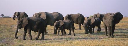 Elefantes africanos (Loxodonta Africana) no savana Imagem de Stock